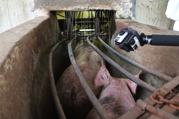 Pigs funnelled to slaughter at a plant in Mexico. Photo courtesy Animal Equality.