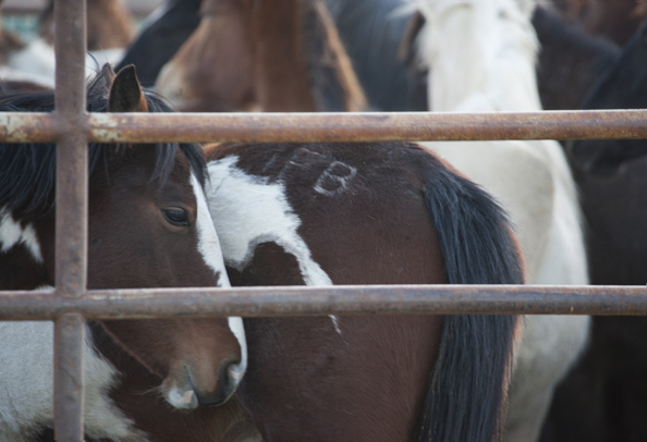 Wild horses confined in holding pens
