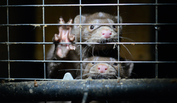 Canadian mink farm
