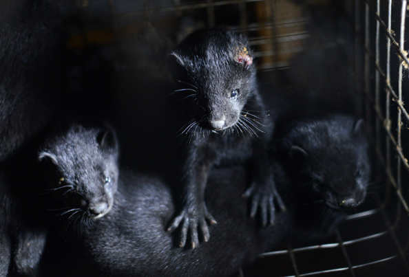 mink farm fur cruelty