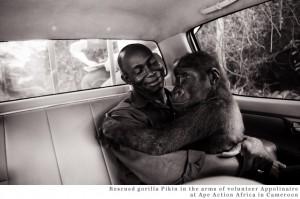 Rescued Gorilla