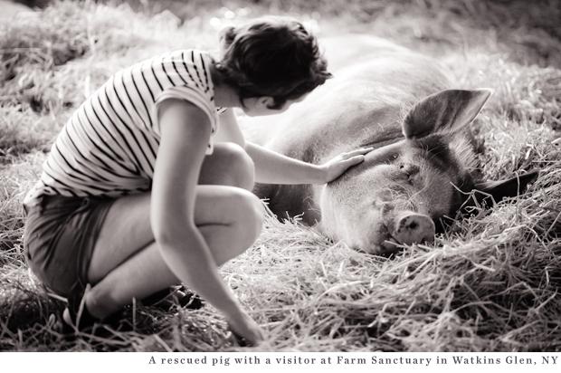 Rescued Pig