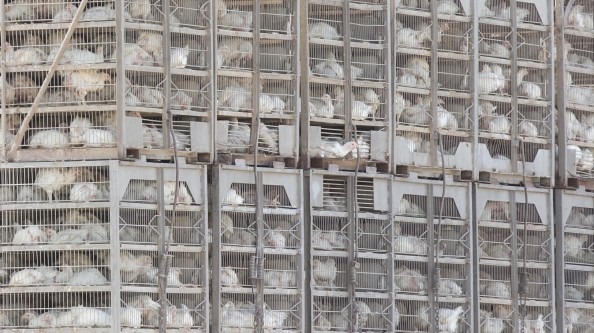 Chickens headed to slaughter in a typical transport truck, Texas. (Dietz)