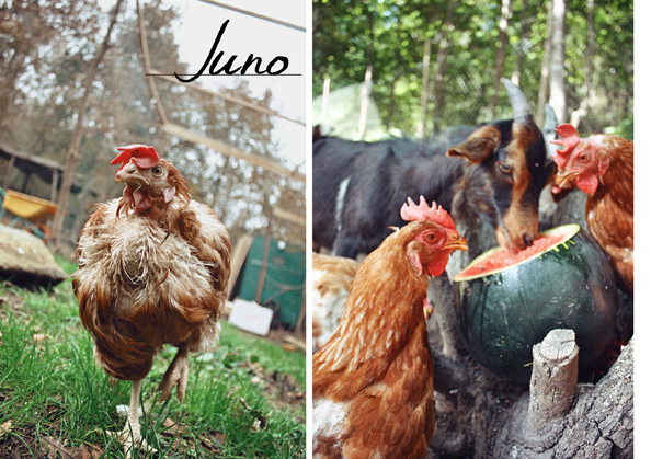 Juno (left) and her rescued flock at Mino Valley Sanctuary in Spain. (Abigail Geer)
