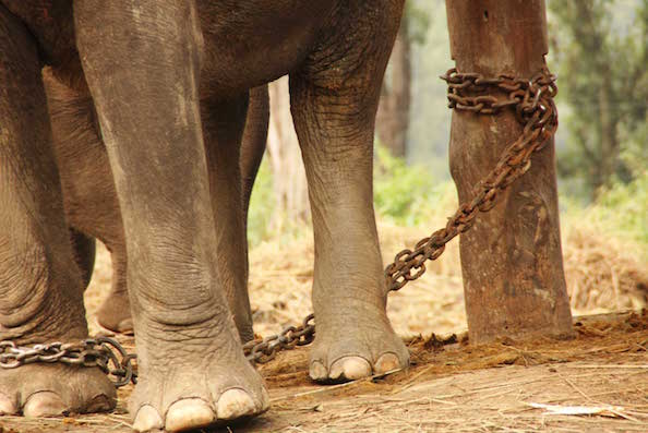 Chained elephants in Nepal, awaiting to be used for elephant rides.