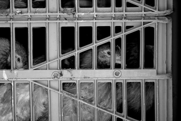 Chickens awaiting slaughter (Mike Hrinewski/ LAIKA).