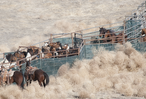 Wild horses trapped in chute by the BLM
