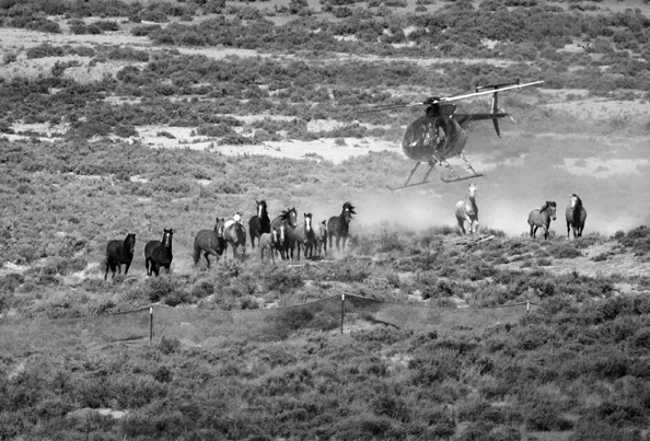 Helicopter chase of wild horses by Bureau of Land Management