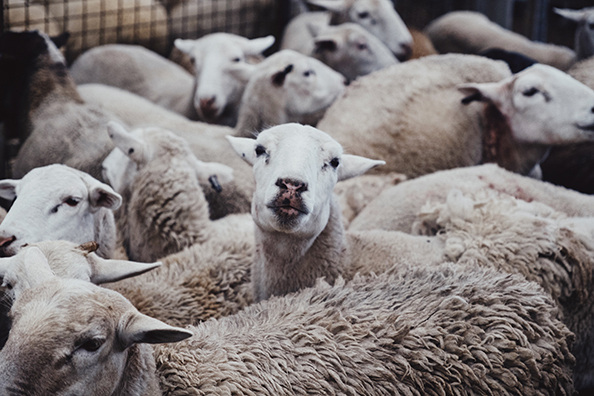 Sheep Slaughter Saleyard Australia
